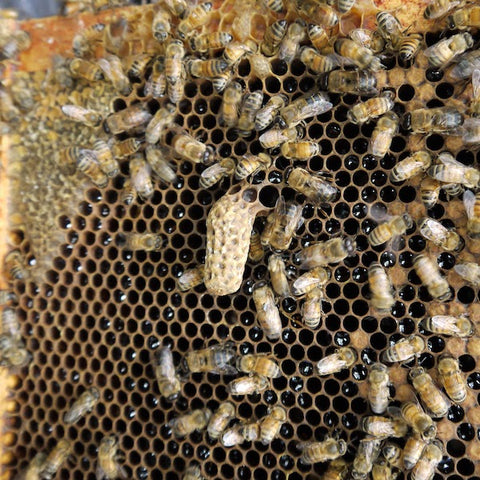 A queen cell on the honey comb of a beehive frame. The cell looks like a peanut shell and bees walk around minding their own business.