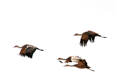 Sandhill Cranes heading back to the Artic