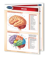 Medical Quick Reference Guide - Human Brain Chart