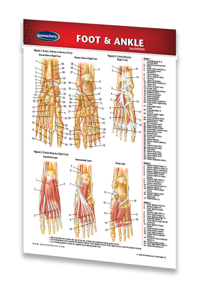 Foot And Ankle Chart Laminated Anatomy Reference Pocket Guide