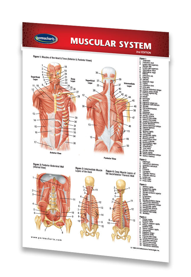 Muscular System Study Guide Pocket Size Quick Reference Resource