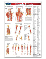 Medicine & Anatomy - Muscular System (Poster)