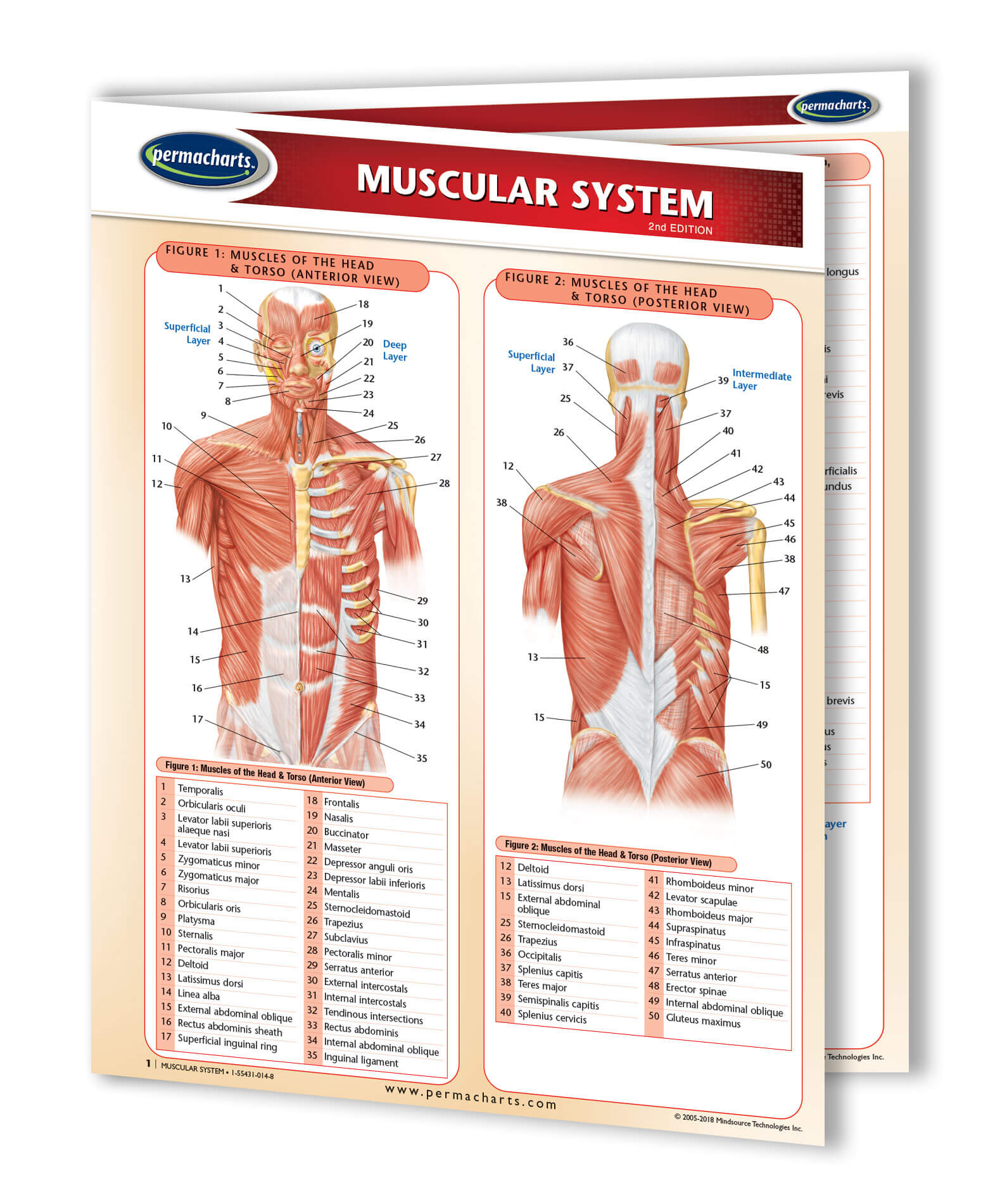 Muscular System Study Guide Quick Reference Resource