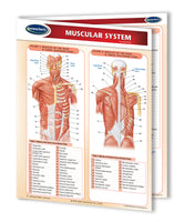 Medicine & Anatomy - Muscular System Chart