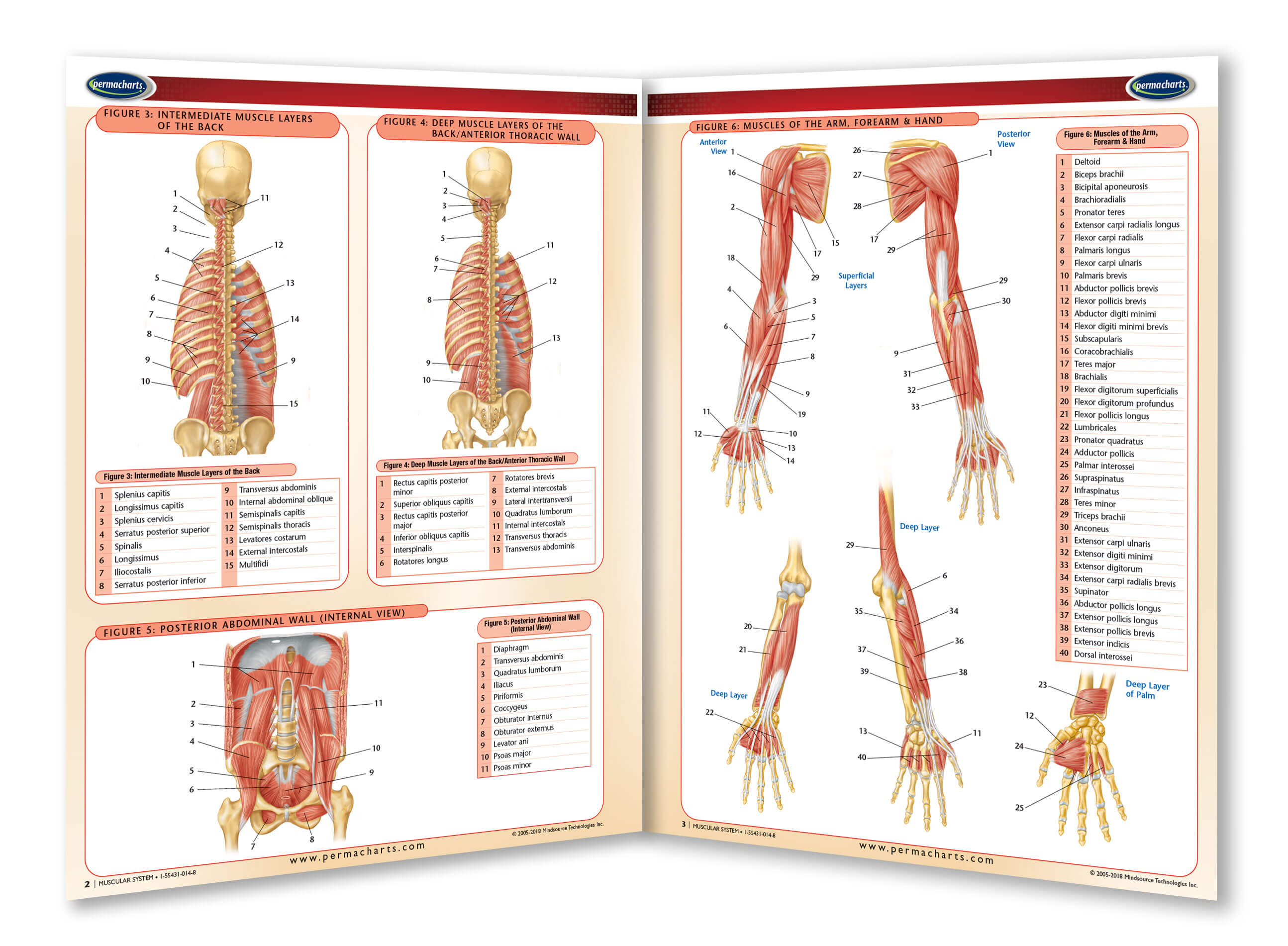 Muscular System Study Guide - Quick Reference Resource