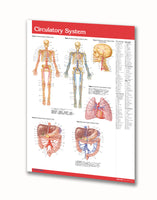 Nervous System laminated poster: Permacharts