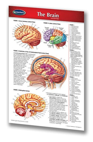 Medicine & Anatomy - Brain (Pocket Size) - Human Brain