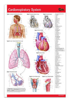 Medicine & Anatomy - Cardiorespiratory System / Cardiovascular Physiology (Poster Size)