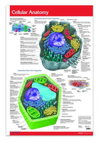 Cellular Anatomy biology poster: Permacharts