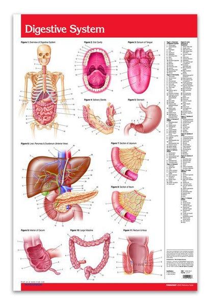 digestive system poster 24 u0026quot  x 36 u0026quot  laminated quick reference