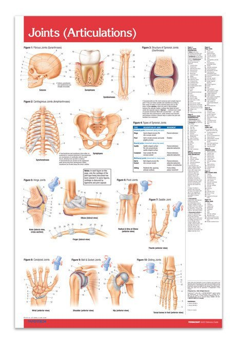 Hand Joints Articulations Poster 24 X 36 Laminated Reference Guide