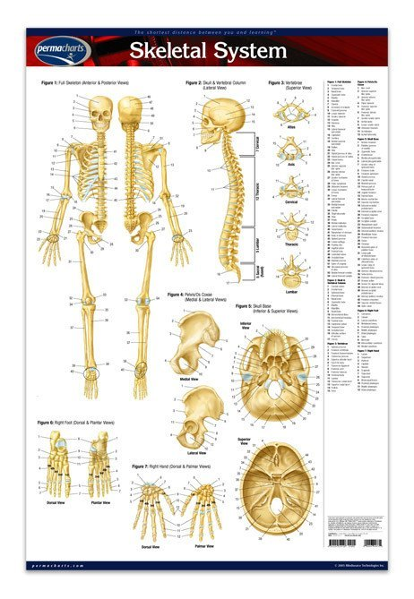 Skeletal System Poster 24 X 36 Laminated Quick Reference Chart