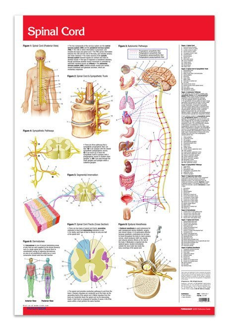 Spinal Cord Poster 24 X 36 Laminated Quick Reference Guide
