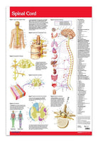 Spinal Cord anatomy poster - laminated wall chart: Permacharts