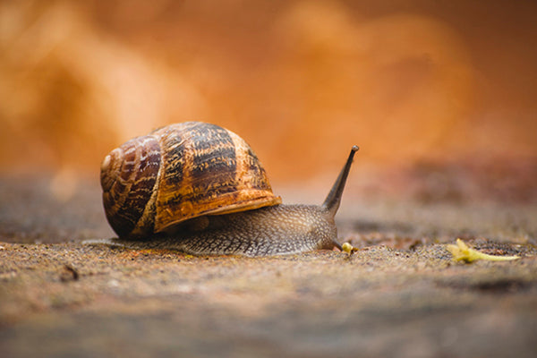 Chemical-free pest control: Snails! Use spent coffee grounds in the garden