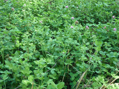 Southern Red Clover (Perennial)