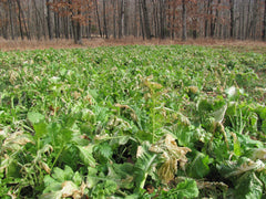 Forage Turnips (Covers 6 to 12 acres)