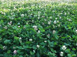 Southern White Clover (Perennial)
