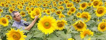 Peredovik Sunflowers (50 pound)