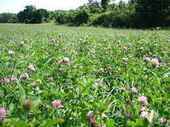 Northern Red Clover (Perennial)