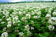 Northern White Clover (Perennial)