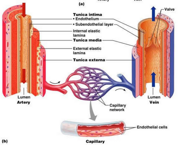 Endothelial cells in blood vessels