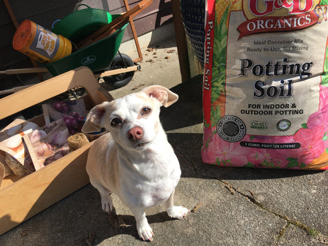 Adorable dog pictured with potting soil.