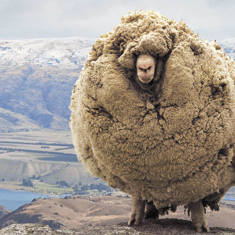 shrek_sheep