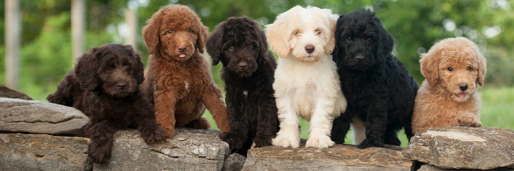 Great Deals On Labradoodle Merchandise With Free Shipping!