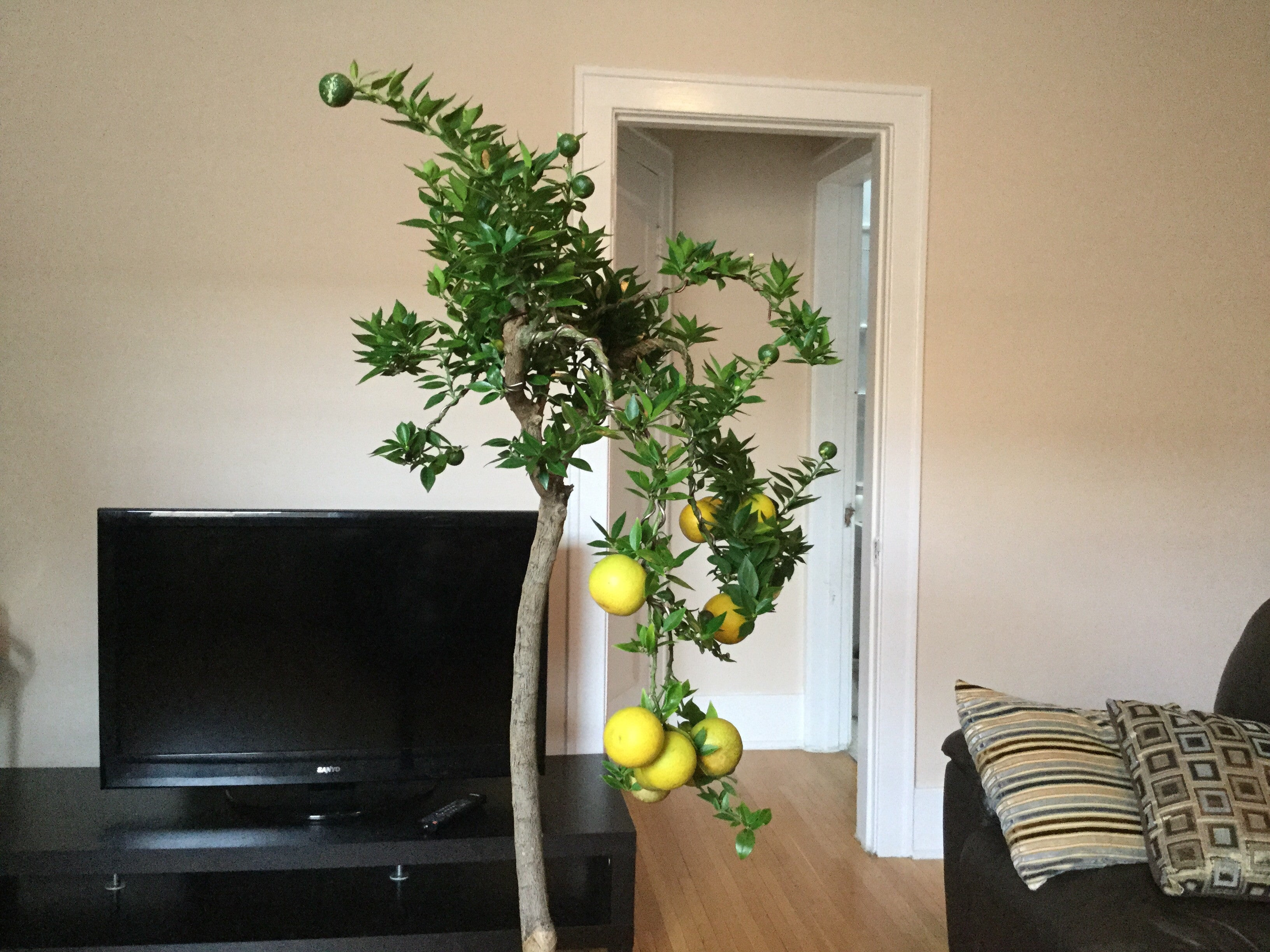 Chinotto orange bonsai