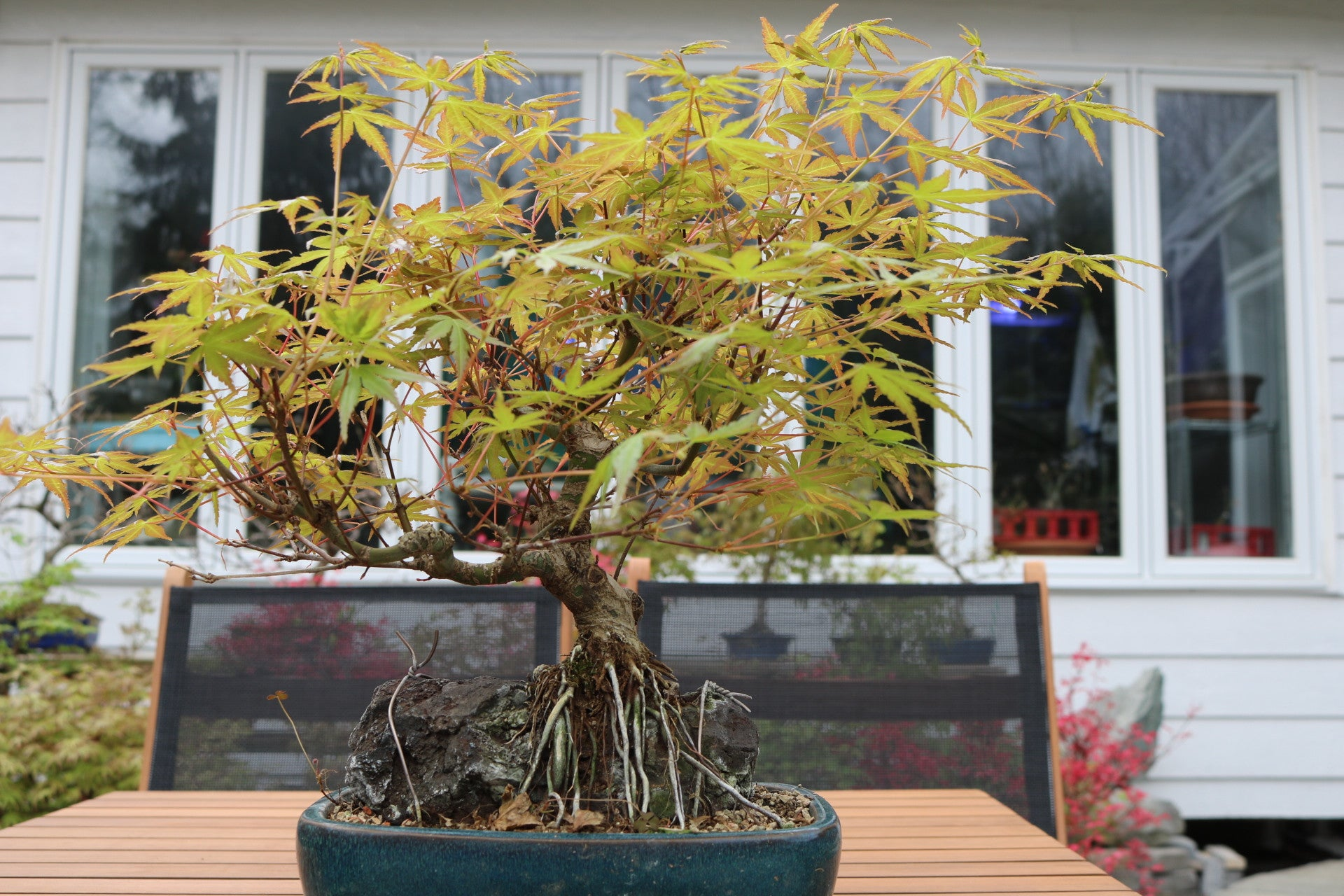 Trident maple ' roots over rock' bonsai