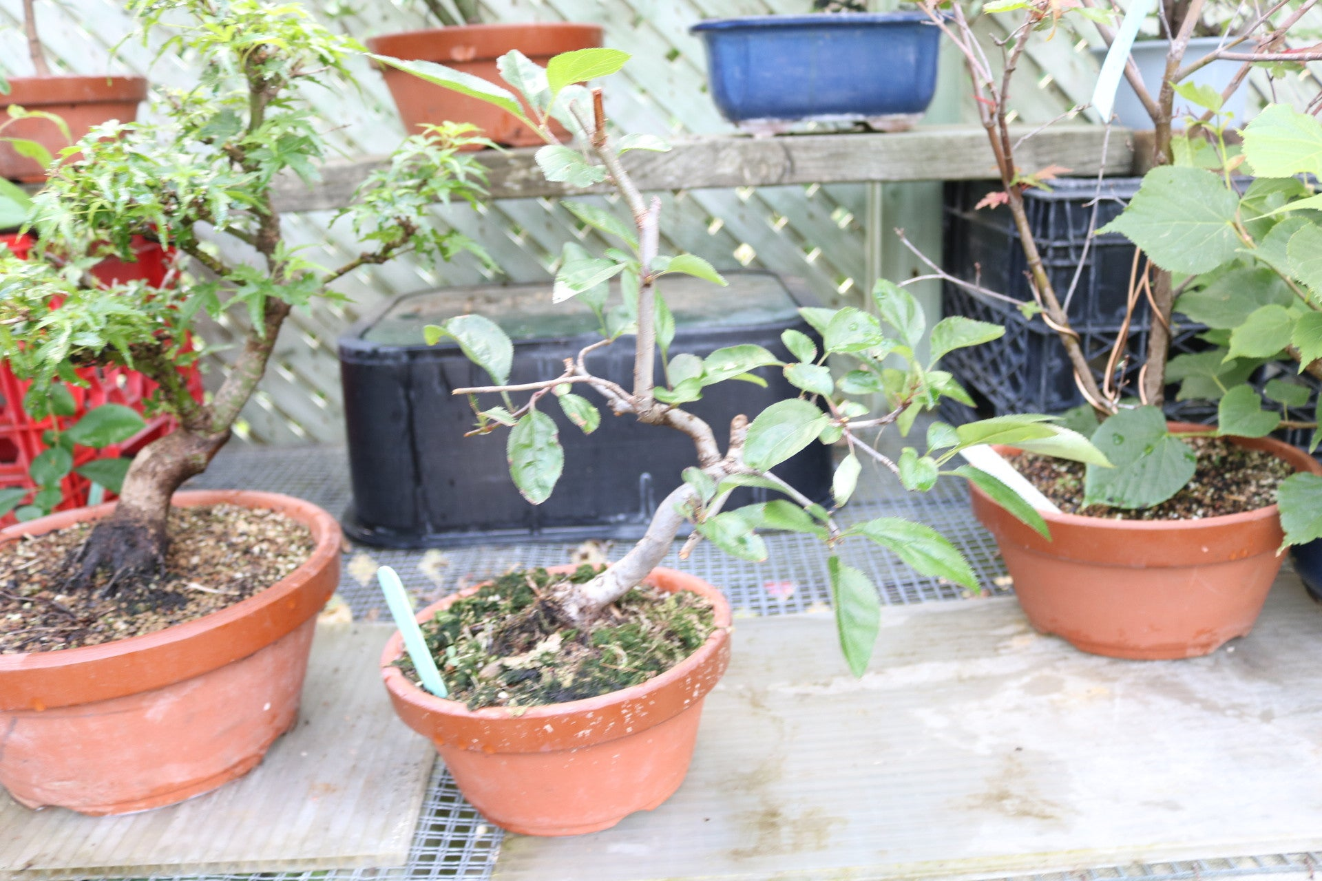 Apple bonsai ' Hime Ringo' & others