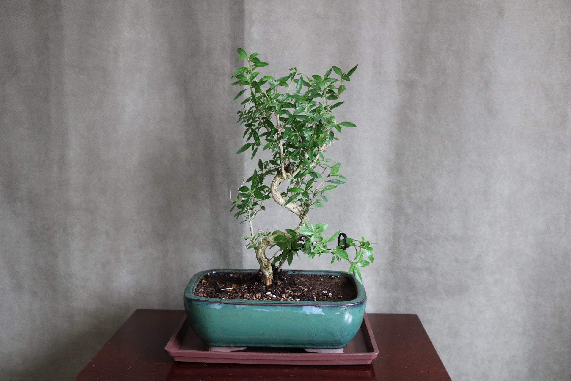 "Serissa bonsai in 8"" pot with tray."