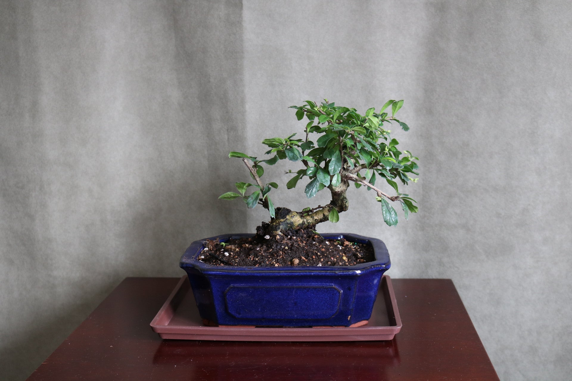 "Fukien Tea Bonsai in 8"" pot with tray."
