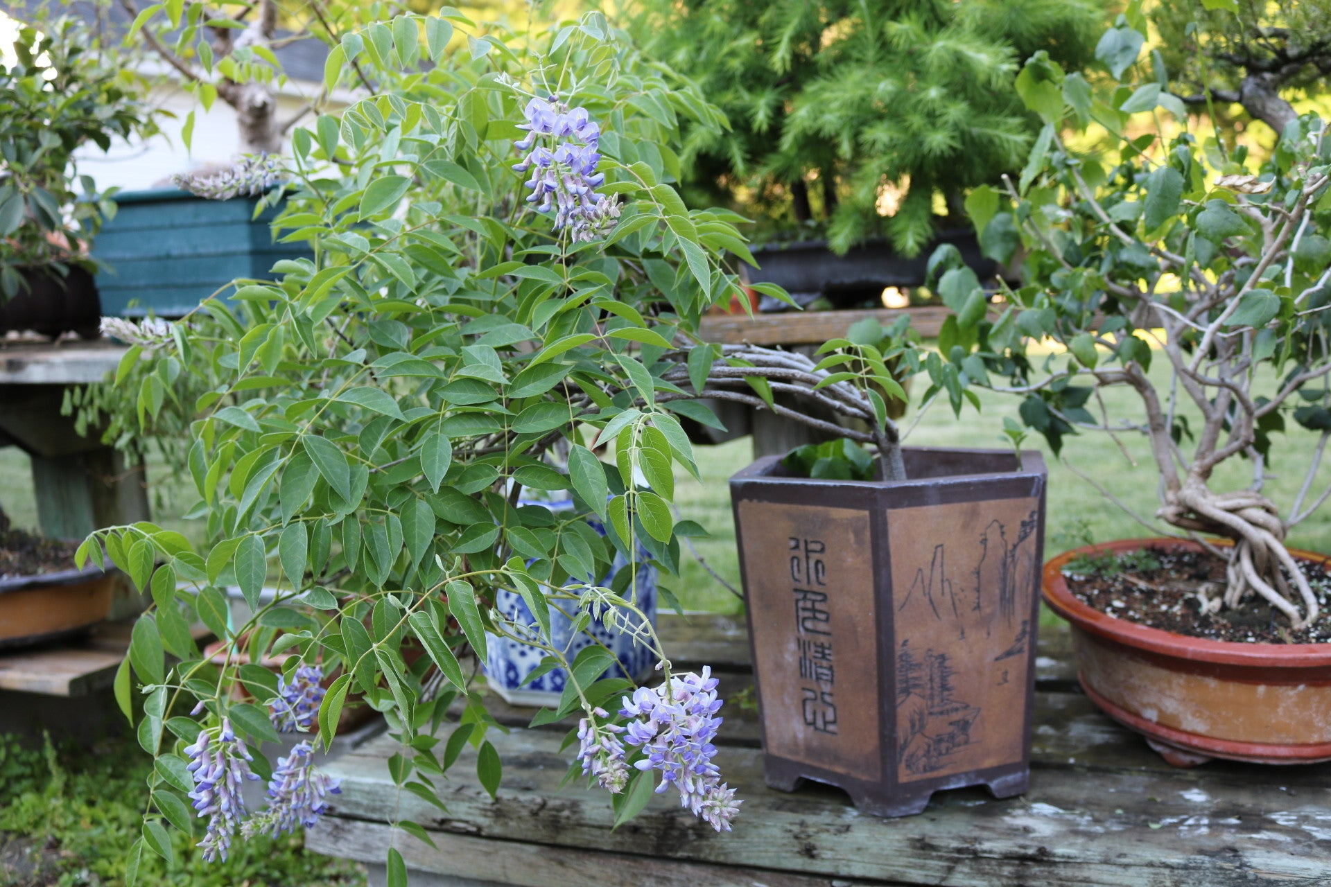 Chinese Wisteria Bonsai