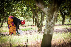 Lady harvesting macadamia nuts in Eswatini, Africa