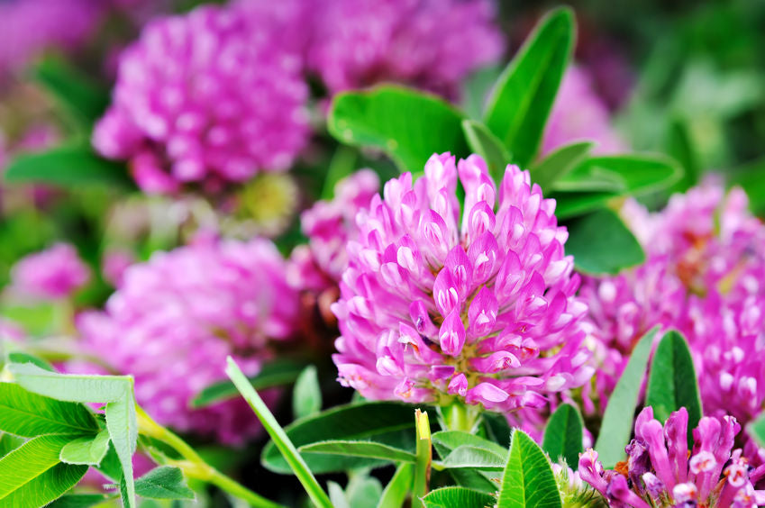 Red Clover Herb- A Natural Isoflavone for Females