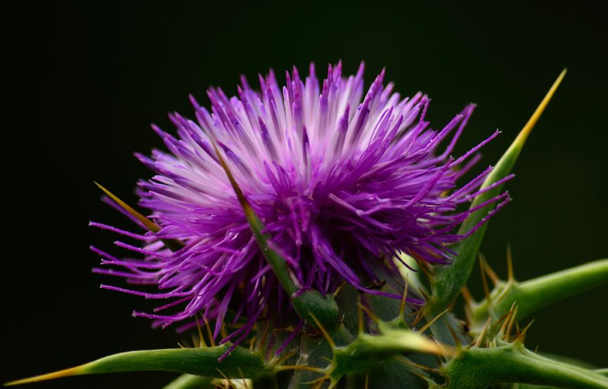 Role of milk thistle in liver cirrhosis