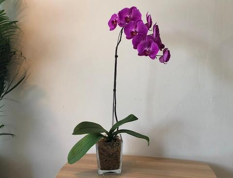 Phalaenopsis in a Pot - 1 Stalk