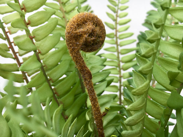 Faux Foliage - Boston Fern Bush