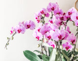 Phalaenopsis in a Pot - 10 Stalks