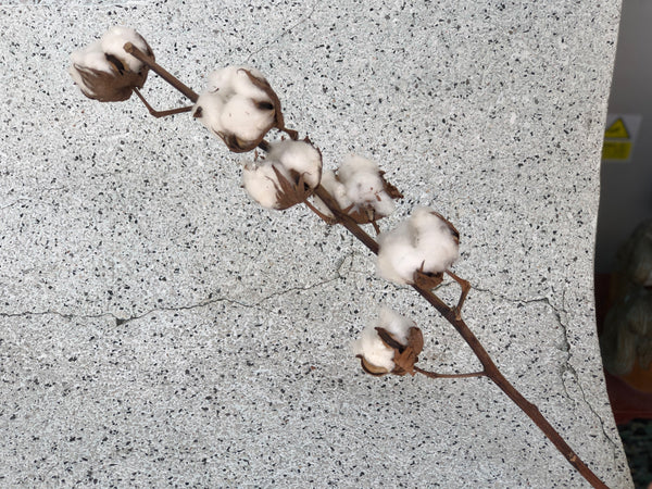 Dried Cotton (Individual Stalks)
