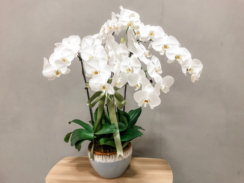 Phalaenopsis in a Pot - 5 Stalks