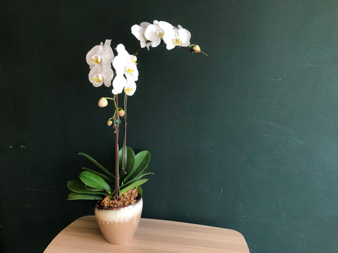 Phalaenopsis in a Pot - 2 Stalks