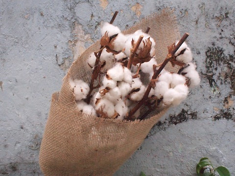 Dried Cotton (Burlap-Wrapped)