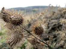 Load image into Gallery viewer, Burdock Root- Loose Dried Herb (Arctium lappa) Organic Burdock Root - Lizzy Lane Farm Apothecary