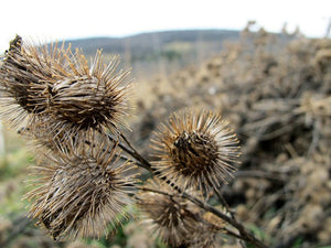 Burdock Root- Loose Dried Herb (Arctium lappa) Organic Burdock Root - Lizzy Lane Farm Apothecary