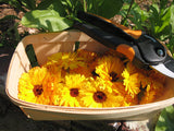 Fresh cut calendula from our Farm House garden ready to be dried.