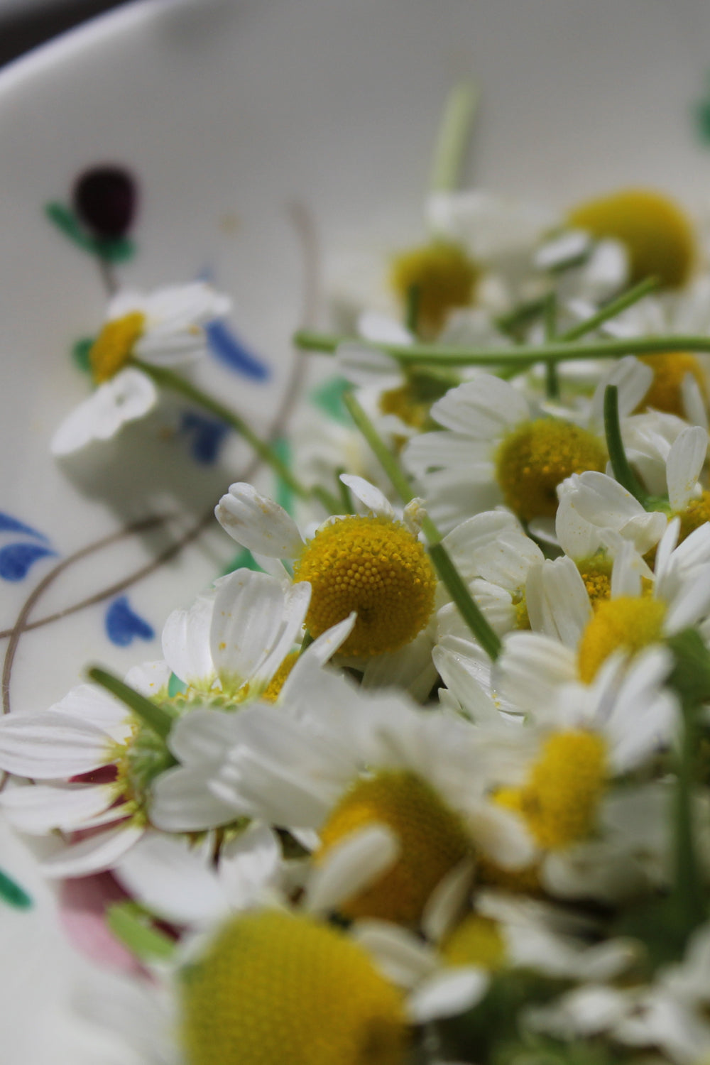 fresh chamomile flower blossoms