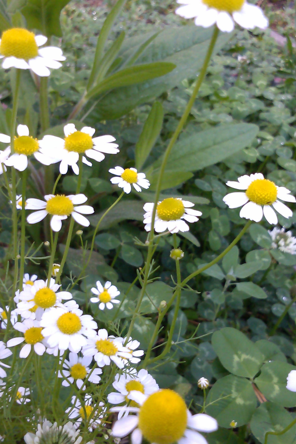 fresh chamomile flower blossoms for tea blending